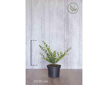 Japansk kristtorn 'Green Hedge'  Potte 25-30 cm Ekstra kvalitet