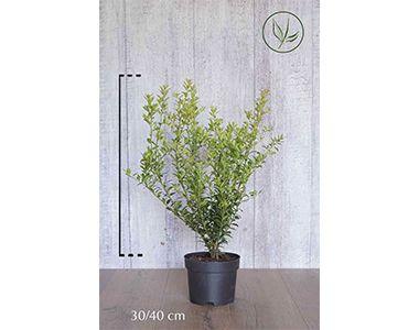 Japansk kristtorn 'Green Hedge'  Potte 30-40 cm Ekstra kvalitet