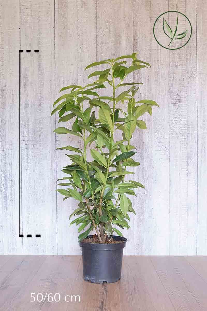 Laurbærkirsebær  'Genolia'® Potte 50-60 cm