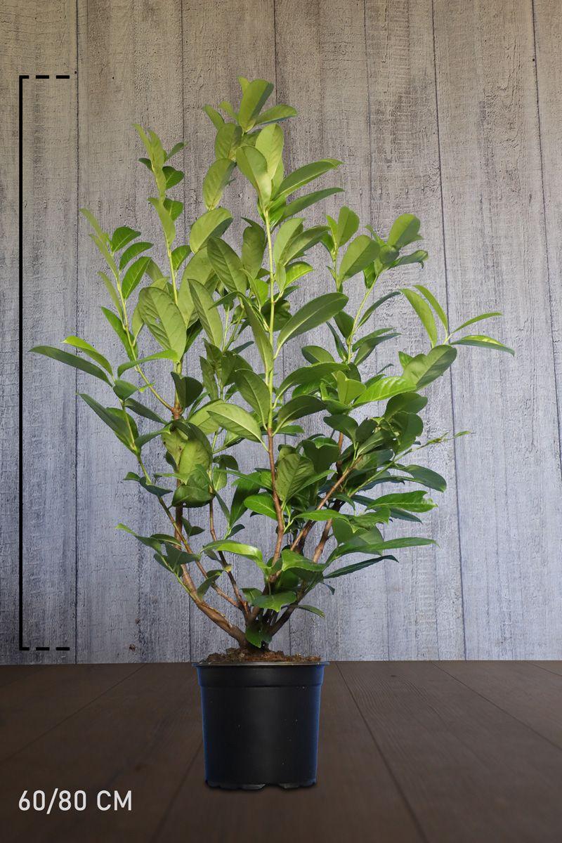 Laurbærkirsebær 'Rotundifolia' Potte 60-80 cm