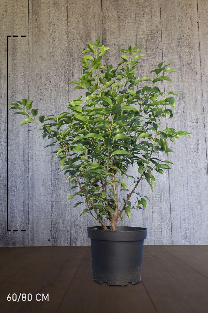 Portugisisk laurbærkirsebær Potte 60-80 cm