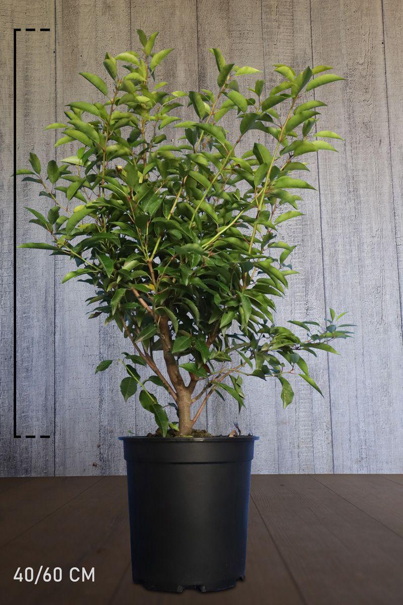 Portugisisk laurbærkirsebær Potte 40-60 cm
