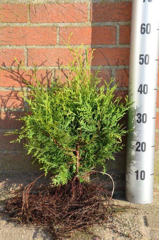 Thuja 'Brabant' Barrods 30-40 cm