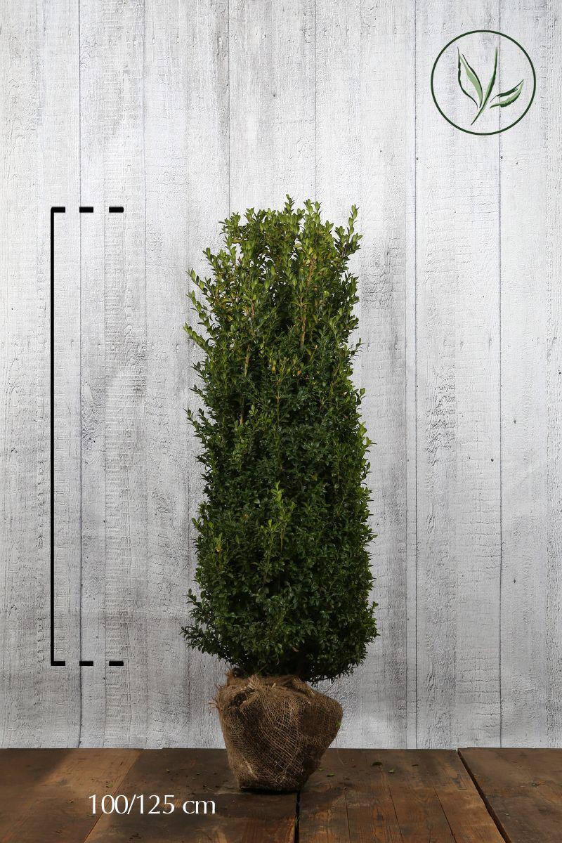 Buksbom - busk Klump 100-125 cm Ekstra kvalitet