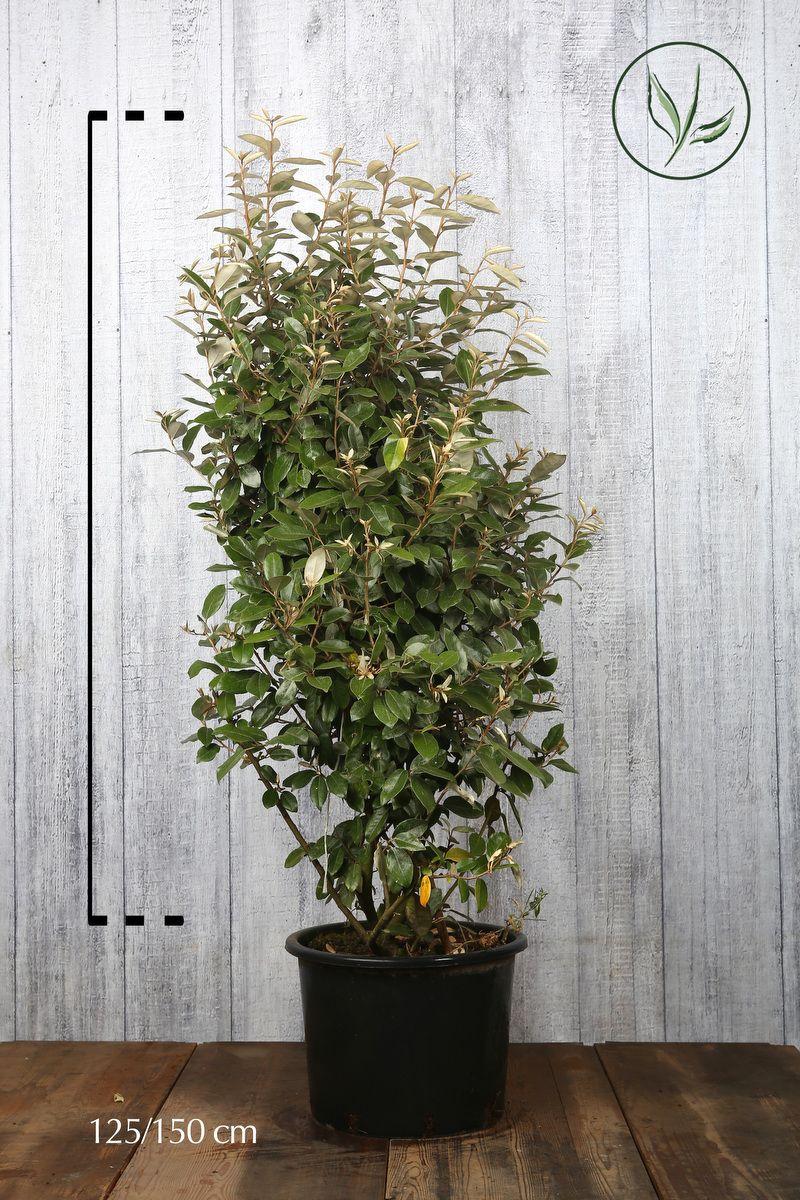 Sølvblad Potte 125-150 cm