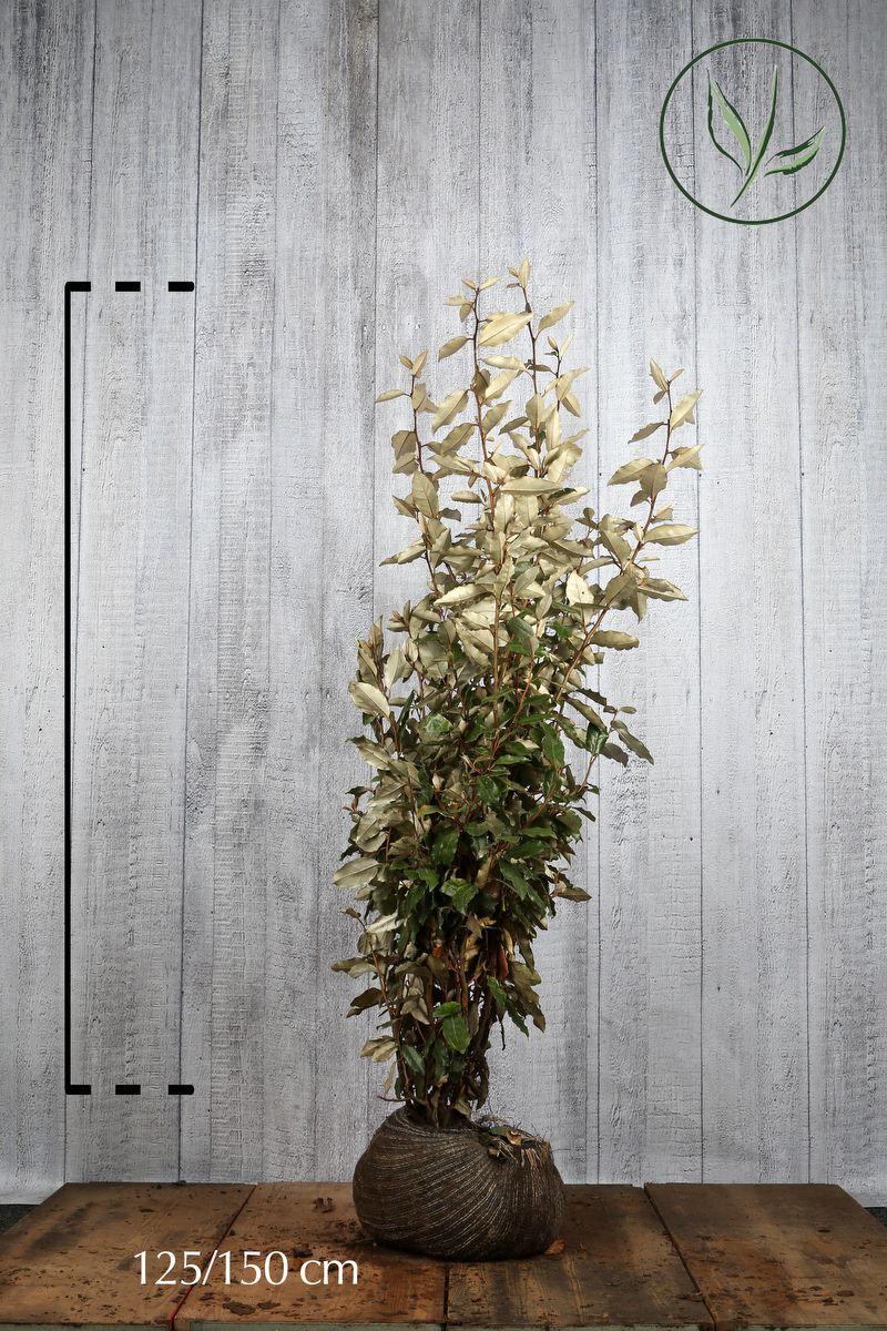 Sølvblad Klump 125-150 cm