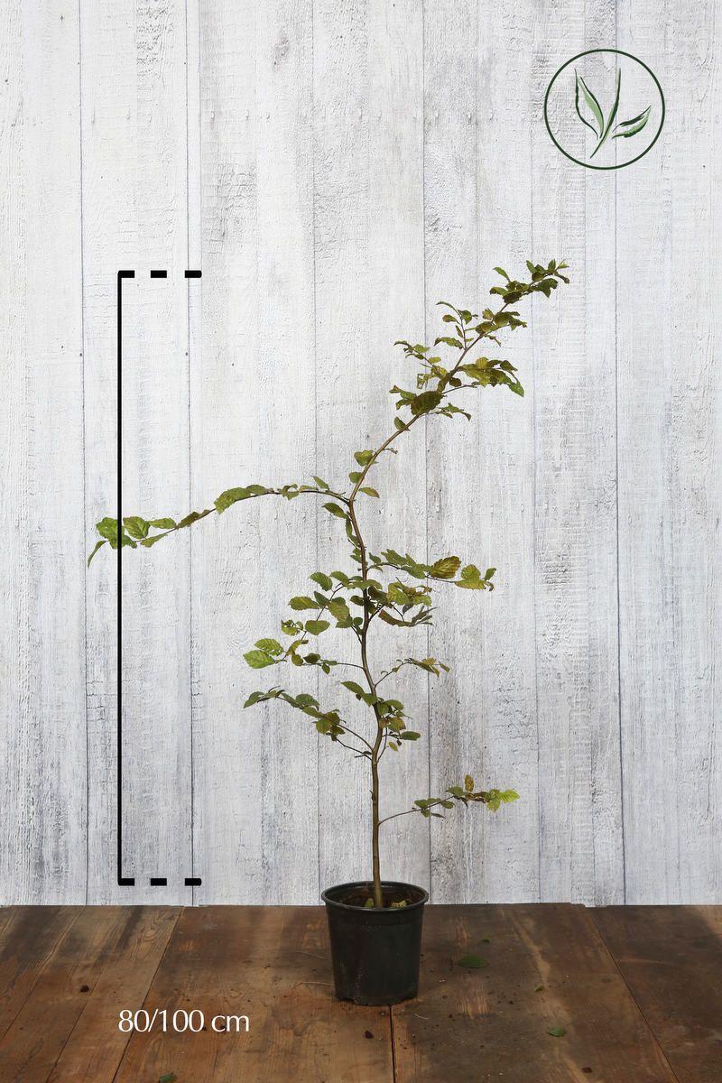 Avnbøg Potte 80-100 cm