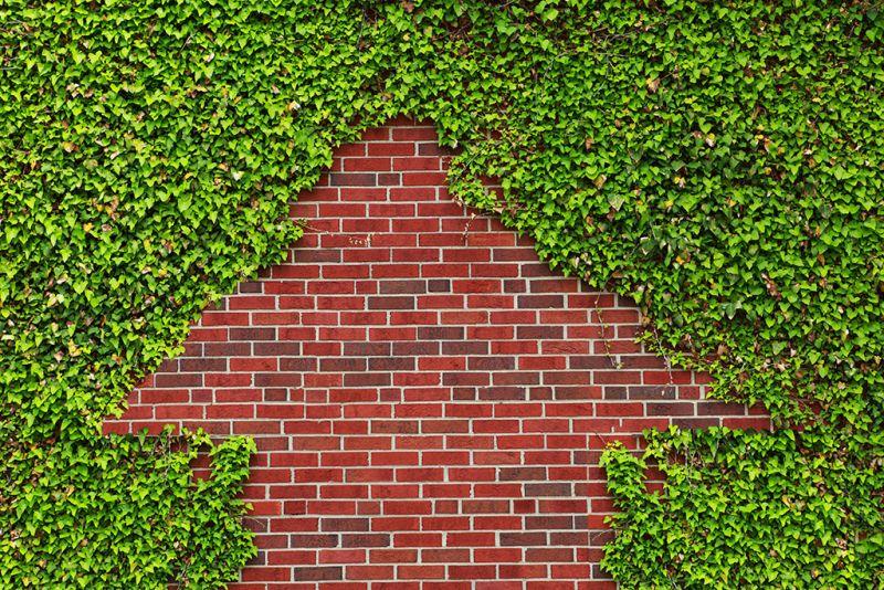 Almindelig vedbend Bunddække i plantemåtter 38 x 57 cm Højeste kvalitet