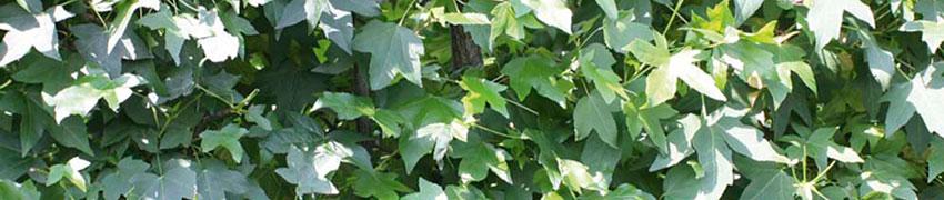 Ambratræ som hæk