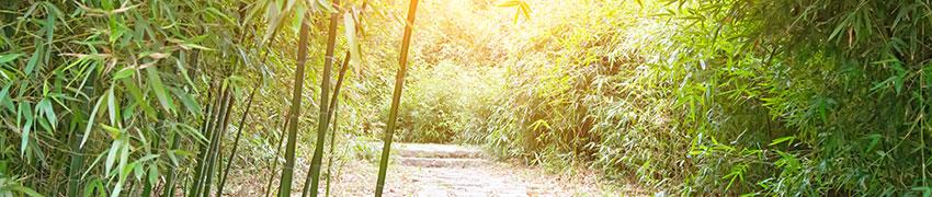 Bambus som hæk