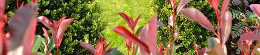 Stedsegrønne hækplanter til haven
