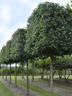 Carpinus Betulus Espalier