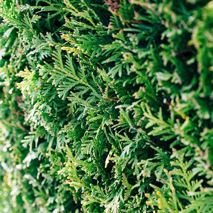 Køb hækplanter online