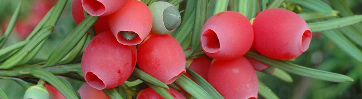 Køb dine hækplanter hos os