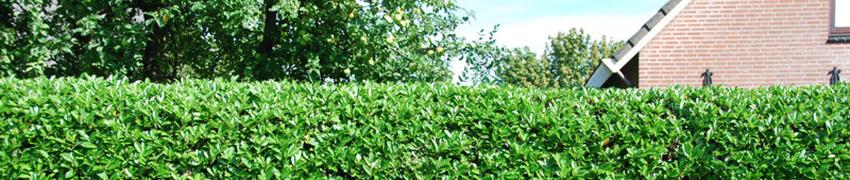Laurbærkirsebær online