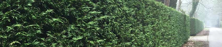 Beskæring af nåletræer, eksempelvis thuja