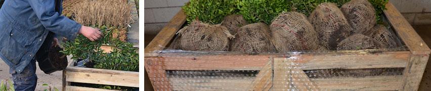 Kluitplanten gereed voor transport