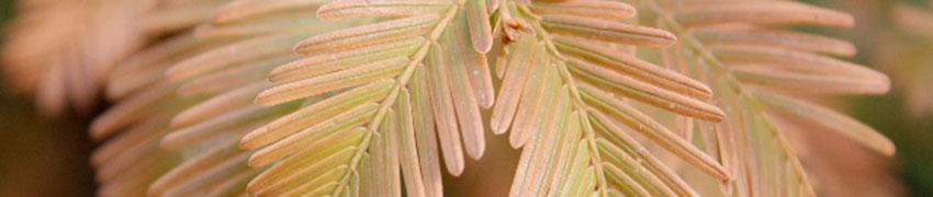 Hækplanteronline.dk og nåletræer