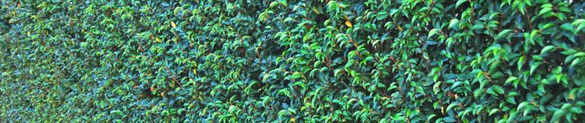 Laurbærkirsebær - varieteter