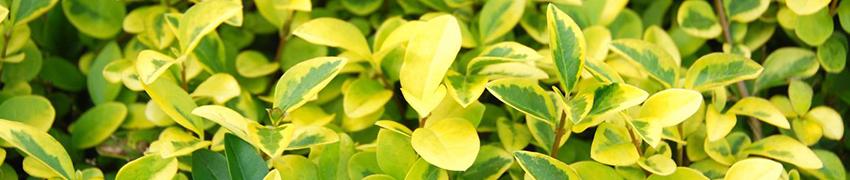 Liguster - stedsegrøn og flot