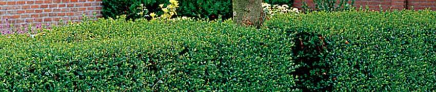 Plantning af ligusterhæk
