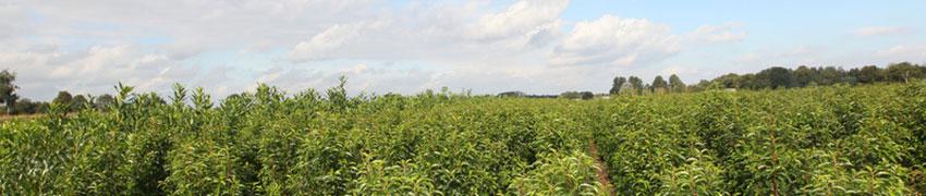 Plantning og beskæring af kirsebærlaurbær