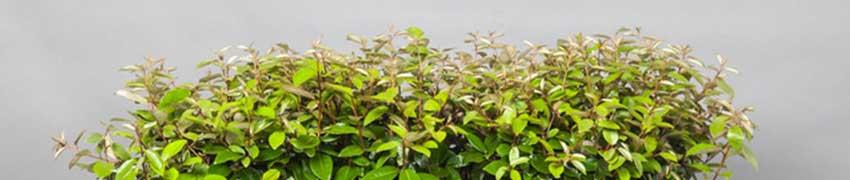 Plantning af sølvblad