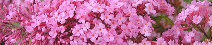 Sommerfuglebusk - sommerfuglemagneten