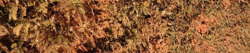 Vandgran - en lidt kræsen hækplante