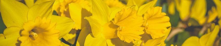 Narcissen kopen bij Haagplanten.net