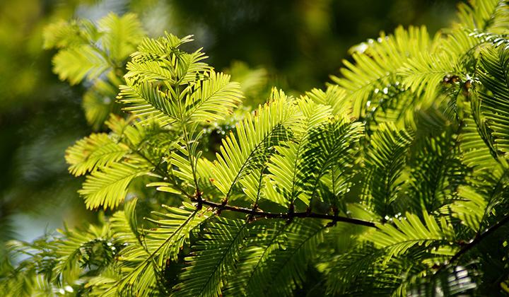 Ligheder mellem taks og andre nåletræer